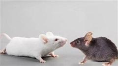 Trung Quốc tạo ra chuột biến đổi gen để thử nghiệm vắc-xin ngừa Covid-19