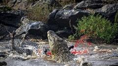 Cá sấu khổng lồ xé xác ngựa vằn trong chớp mắt
