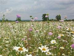 Kế hoạch 'cao tốc hoa dại' giúp bảo vệ loài thụ phấn tại Anh