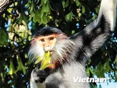 Bán đảo Sơn Trà - Vương quốc xanh của ''Nữ hoàng linh trưởng''