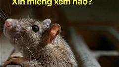 Sự trỗi dậy của loài chuột cống: Thực khách ăn uống ở vỉa hè New York liên tục bị chuột quấy rối và trấn lột thức ăn