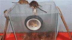 Chuột lũ lượt chui vào từ 'bánh xe tử thần', không thể thoát ra