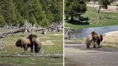 Gấu xám đại chiến bò rừng: Kết khá bất ngờ