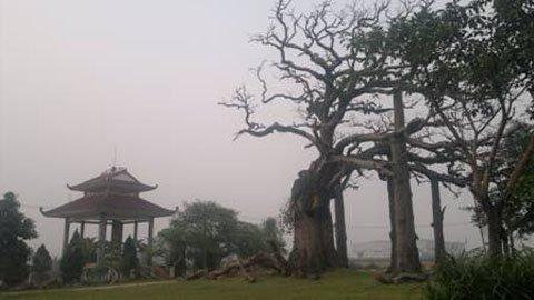 Đi tìm sự thật về cây thiêng giết  người