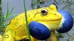 Cánh đồng ở Ấn Độ bỗng xuất hiện đàn ếch màu vàng chóe kỳ dị 'mọc' lên ồ ạt như nấm sau mưa