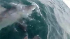 Cá mập trắng dài 4m lao lên cắn động cơ thuyền, ngư dân hốt hoảng