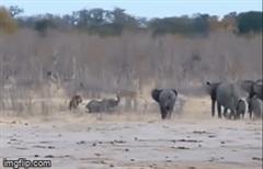 Nằm chờ chết dưới vuốt sư tử, voi con được cả bầy hỏa tốc tới giải cứu