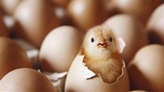 'Con gà có trước hay quả trứng có trước?' - giới khoa học đã tìm ra manh mối 9500 tuổi để trả lời câu hỏi này