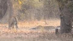 Clip: Hổ già dạy cho hổ trẻ một bài học và cái kết đầy bất ngờ