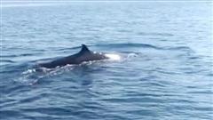 Clip: Cận cảnh cá voi 'khủng' dài khoảng 4m xuất hiện ở biển Cù Lao Chàm