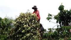 Doanh nghiệp xuất khẩu hồ tiêu kêu cứu
