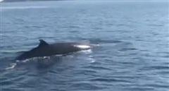 Cá voi khổng lồ xuất hiện ở vùng biển đảo Cù Lao Chàm