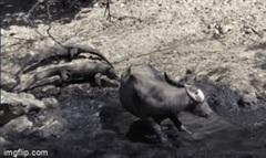 Rồng Komodo hạ gục trâu nước to gấp 5 lần bằng chiêu thức đặc biệt