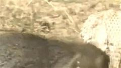 Clip: Bị cầy Mangut đánh đuổi, hổ mang 'thở không đều', tối tăm cả mặt mũi