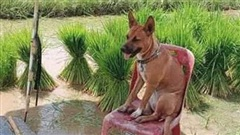 Chú chó sang chảnh nhất năm: Mang tiếng đi cấy lúa với chủ nhưng lại được chăm như ông hoàng, ngồi ghế thảnh thơi lại còn có ô che nắng