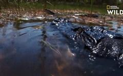 Trăn Miến Điện vừa ăn thịt cá sấu xong thì bị một con cá sấu khác tấn công đến chết