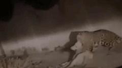 Clip: Báo hoa mai tấn công chó nhà một cách liều lĩnh, đèn pha rọi sáng cũng không sợ hãi