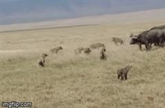 Cậy đông định bắt nạt con non, đàn linh cẩu bị trâu rừng dạy cho bài học nhớ đời