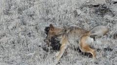 Đụng độ chó sói đồng hung dữ, báo sư tử bỏ chạy