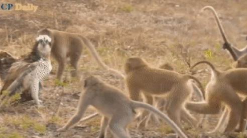 Clip: Đại bàng bị thương rơi xuống 'vương quốc khỉ', trận ẩu đả kết thúc ra sao?