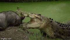 Lạnh người cảnh cá sấu khổng lồ xẻ thịt lợn rừng sau trận chiến kinh hoàng