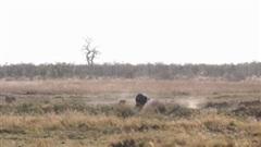 Dám khiêu khích đàn sư tử, trâu rừng bị đánh đuổi phải bỏ chạy thục mạng