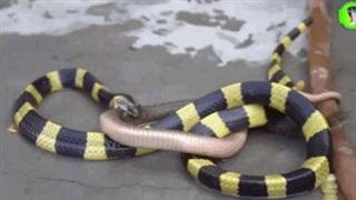 Bị rắn cạp nia phun nọc độc, rắn nước nhận cái kết bi thảm