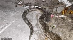 Cuộc chiến sinh tồn: Đối đầu hổ mang Ấn Độ, rắn hổ lục bướm cực độc vẫn bị kẻ thù nuốt trọn