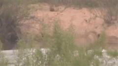Sư tử đực lội qua sông thì bất ngờ bị cá sấu tấn công: Kết cục ra sao?
