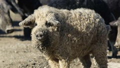 Con vật lông xù quăn tít ai nhìn thấy cũng tưởng là cừu nhưng danh tính thật khiến nhiều người phải bật ngửa
