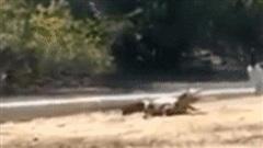 Cá sấu 'lim dim tắm nắng' mà không biết tai họa ập đến bất ngờ