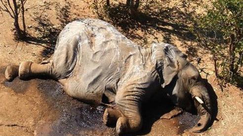 'Vụ án' thảm họa bảo tồn khiến hàng trăm con voi chết hàng loạt cuối cùng đã xuất hiện manh mối