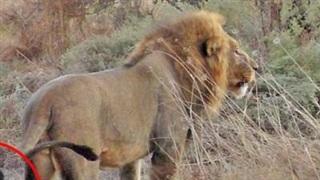 Chó hoang tinh ranh giả chết, đánh lừa cả đàn sư tử