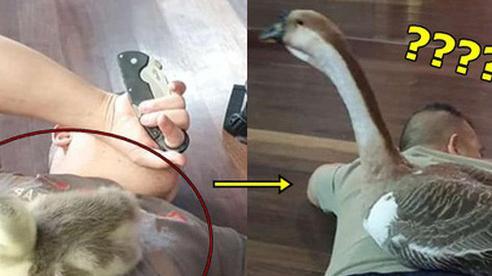 Chàng trai chia sẻ hình ảnh ngỗng cưng theo mình từ nhỏ, dân tình đột ngột soi đấy là loài ngỗng hiếm nhất Việt Nam