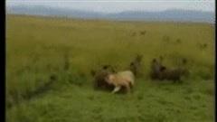 Sư tử không ngóc nổi đầu lên vì linh cẩu tấn công dồn dập: Số phận nó sẽ ra sao?