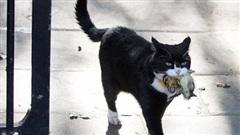Mèo Palmerston - 'tổng quản' diệt chuột hàng đầu nước Anh đã chính thức về hưu