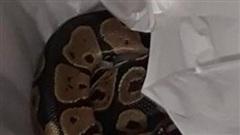 Lôi món đồ họa tiết da rắn từ trong máy giặt ra, người phụ nữ 'hồn xiêu phách lạc' vì nhận ra đó là... con trăn thật