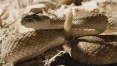 Trốn diều hâu lại chạy vào hang rắn đuôi chuông, chuột tạo nên thế trận kịch tính