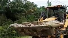 Cá sấu 'quỷ' nặng nửa tấn bị dân làng chặt đầu rồi đem chôn