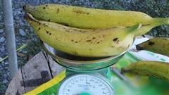 Ngỡ ngàng trước giống chuối 'siêu to khổng lồ' đặc biệt tại Việt Nam, mỗi quả nặng gần 1kg giá chỉ 9.000 đồng/quả
