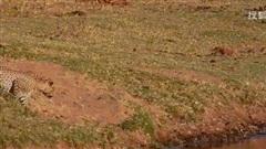 Cá sấu chơi chiêu độc: Treo linh dương làm mồi nhử, 'núp lùm' đợi thịt báo hoa mai