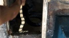 Thả rắn cạp nong cực độc vào chuồng hổ mang chúa: Con nào bỏ mạng?