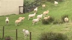 Hiện tượng kỳ lạ: Bầy cừu hàng trăm con đột ngột đứng bất động như bị thôi miên
