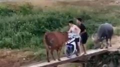 CLIP: Đi xe máy lên cầu tạm, thanh niên 'đứng tim' vì bò chặn đầu, trâu chặn đuôi và cái kết bất ngờ
