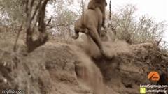 Lợi dụng báo hoa mai đang ngủ, sư tử ra đòn đánh lén bất ngờ