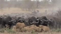 Cuộc trả thù kịch tính của trâu rừng: Một con sư tử suýt chết, nghé con cũng bỏ mạng!