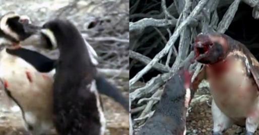 Về nhà thấy vợ âu yếm với 'kẻ thứ 3', chim cánh cụt lao vào đánh ghen một trận kinh hoàng nhưng vẫn nhận cái kết cay đắng