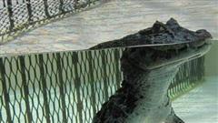 Cá sấu nổi lềnh bềnh ai cũng sợ nhưng hình ảnh dưới mặt nước lại phản bội sự hung tợn của chúng, thậm chí còn có phần đáng yêu
