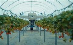Cỗ máy thu hoạch hơn 80.000m2 dâu tây chỉ trong 3 ngày: 'Ngắt' dâu tây 'mượt' hơn cả con người