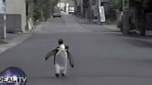 Chàng cánh cụt khoác balo tung tăng trên phố, biết đi mua cá ai cũng yêu, chi phí nuôi nấng hàng chục triệu đồng/năm nhưng không ai nỡ bỏ rơi
